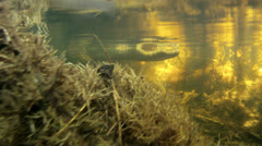 Alligator in Water Stock Footage