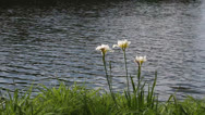 Stock Video Footage of Flowers at lake