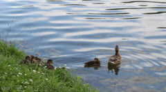 Duck with a brood - stock footage