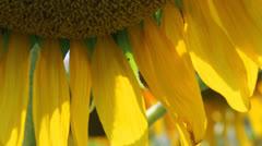 Sunflower 6 Stock Footage