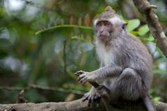 Long-tailed Macaque Monkey - stock photo