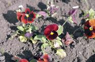 Red viola at spring Stock Photos