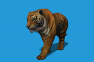Stock Video Footage of Tiger Front View Walking