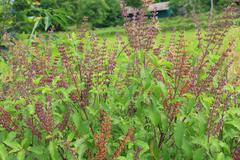 dry holy basil (ocimum sanctum). - stock photo