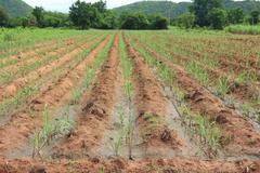 Water irrigation system on a field with a sugar cane farm plentifully. Stock Photos