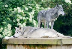 Wolves resting Stock Photos