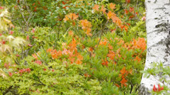 Azalea native to mountain Stock Footage