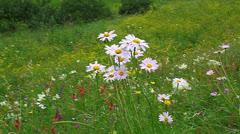 Wild daisies bloom on a green meadow Stock Footage