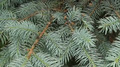 evergreen boughs - stock footage