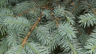 Stock Video Footage of evergreen boughs