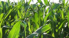 Corn Field, viljelty maa, Vilja, Maissi Harvest, maatalous, Maatalous Arkistovideo