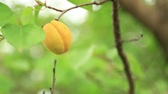 Picking apricots from tree Stock Footage
