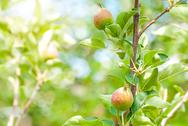 Stock Photo of peach tree