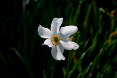 Flower narcissus. Stock Photos