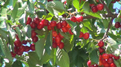 Ripe Cherry Tree, Fruits Branches for Eating , Orchard, Farming, Agriculture Stock Footage