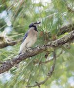 blue jay out on a limb - stock photo