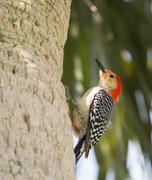 the red bellied woodpecker stare - stock photo