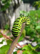 caterpillar of butterfly machaon on the stick - stock photo