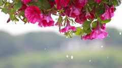 Water Dripping Off Flowers Stock Footage