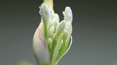 Lily of the nile ready to bloom Stock Footage