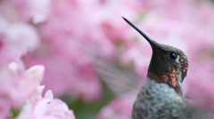 Hummingbird in pink flowers Stock Footage