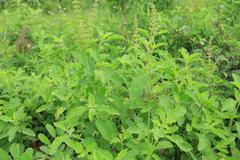 holy basil (ocimum sanctum). - stock photo