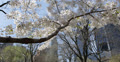 Ultra HD 4K Blooming Cherry Trees in Central Park New York City, Skyscrapers NYC Footage