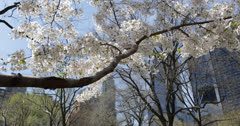 Ultra HD 4K Blooming Cherry Trees in Central Park New York City, Skyscrapers NYC Stock Footage