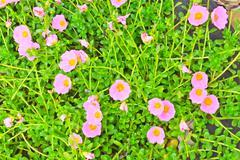 Portulaca flowers Stock Photos