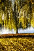 a willow tree on the grass with falling leaves - stock photo