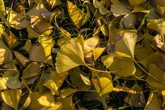 Fallen ginkgo leaves in autumn Stock Photos