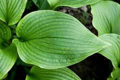 Stock Photo of hosta montana