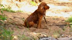 Wet English Cocker Spaniel sitting on the sand in sunshine  Stock Footage