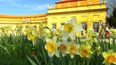 Erlangen Hofgarten Narcissus daffodils blossom n people passersby Stock Footage