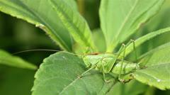 Green grasshopper - stock footage