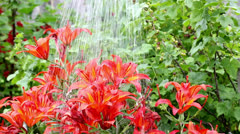 Watering flowers - stock footage