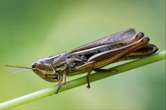Brown  grasshopper chorthippus brunneus in Stock Photos