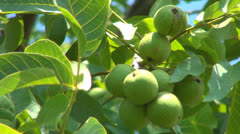 Unripe Nut Tree Branches, Agriculture, Fruits, Harvest, Farming, Orchard Walnuts Stock Footage