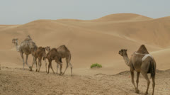 Camels in the desert - stock footage