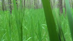 Stock Video Footage of POV of Walking in Grass in Acacia Forest, Footsteps View, People Passing in Wood