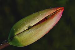 Rhoeas argemone setigerum hybridum Stock Photos
