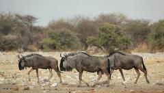 Blue wildebeest walking Stock Footage