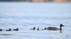 Stock Video Footage of Mallards family swimming in water, duck with ducklings