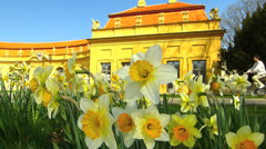 Narcissus daffodils flower blossom in Erlangen Hofgarten Stock Footage