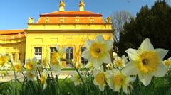 T/L Narcissus daffodils flower blossom in Erlangen Hofgarten Stock Footage