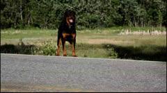 Running Rottweiler Stock Footage