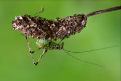 orthopterous  on a piece of branch in the bush and flower - stock photo