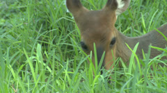 P02863 Bushbuck Female Feeding Stock Footage