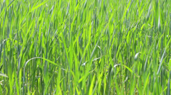 Green wheat close-up - dolly shot Stock Footage
