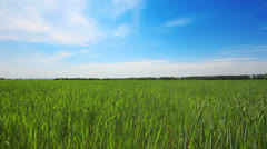 Green field with young wheat under blue sky - dolly shot Stock Footage